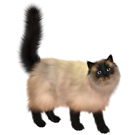Siamese Cat - This kitty looks up as if to ask a question  Stock Photo