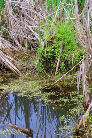 bog: Swamp Duckweed - This wetland swamp is filled with duckweed and cattails