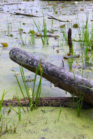 bog: Swamp Log - A cut fallen log lays in a swampy bog in Lapeer, Michigan