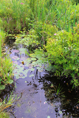 bog: Swamp Plants - Wildflowers, lillypads and cattails in a swampy bog in Lapeer, Michigan