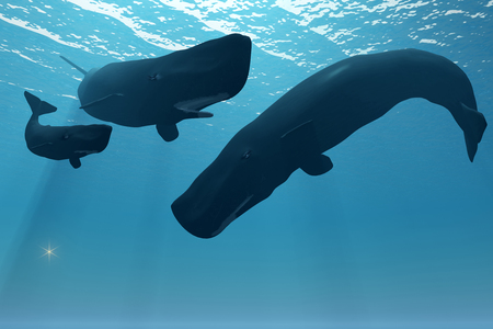 encounter: Sperm Whale Encounter - A mother Sperm whale keeps herself between her calf and an interested male