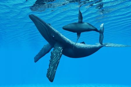ballena: Ballena jorobada Bonding - Una cría de ballena jorobada nadando alrededor de su madre en una graciosa danza océano
