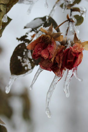 michigan snow: Frozen Roses - Layers of ice cover dried roses hanging from a rose bush after an ice storm in Michigan