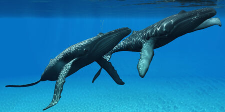 baleen whale: Humpback Whales Surfacing - Two Humpback whales come to the surface of ocean waters to breath