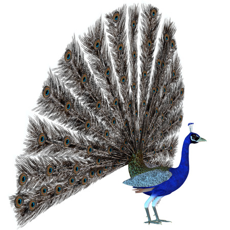 Peacock Display - A male Peacock bird displays his tail feathers in a courtship ritual for the species  Imagens