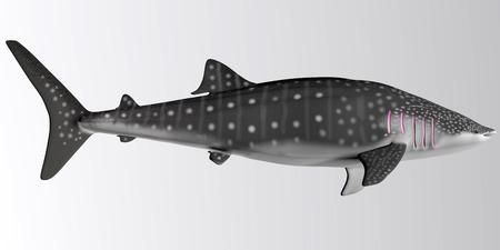 Whale Shark Side Profile