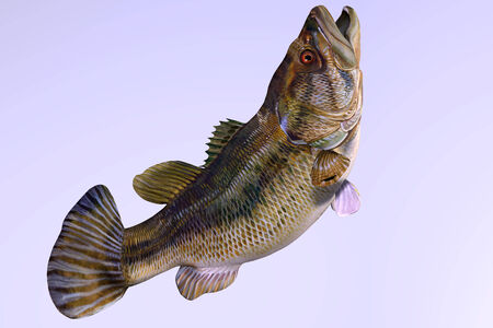 Largemouth Bass Side Profile - The Largemouth Bass is a gamefish that inhabits freshwater lakes, streams and ponds  photo
