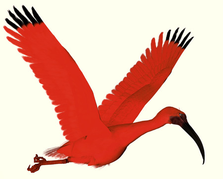 Scarlet ibis - The Scarlet ibis is a wading bird that uses its long bill to catch fish, insects and crustaceans  photo