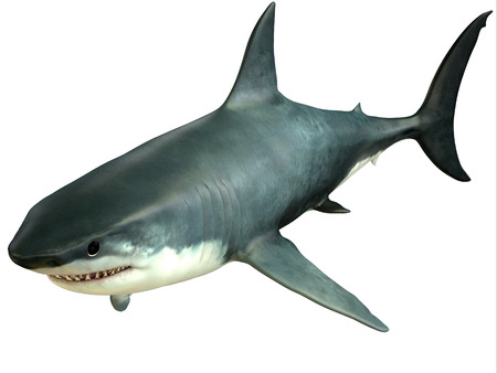 Great White Shark Upper - The Great White Shark is an apex-predator which can grow over 26 feet or 8 meters and live for 70 years or more  Banco de Imagens
