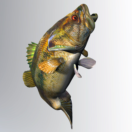bass fish: Largemouth Bass Strike - The Largemouth Bass is a freshwater gamefish that is popular with anglers in North America