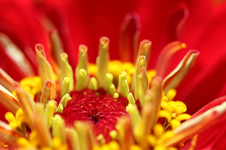tubular: Zinnia Flower Heart - The Zinnia is a annual with star-shaped flower stamens and blooms in summer and autumn