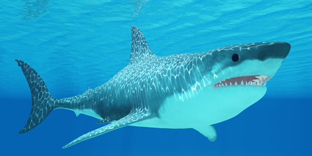 Great White Shark Undersea