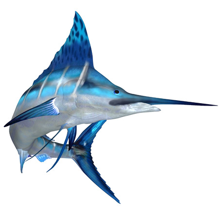 Blue Marlin Ocean Fish - The Blue Marlin is a predator and a favorite game fish of deep sea anglers.