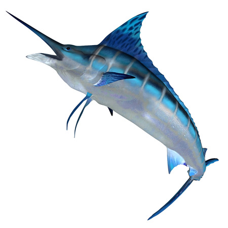 billfish: Blue Marlin Front Profile - The Blue Marlin is a predator and a favorite game fish of deep sea anglers.