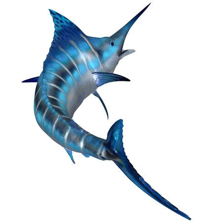 swordfish: Blue Marlin Predator - The Blue Marlin is a predator and a favorite game fish of deep sea anglers.