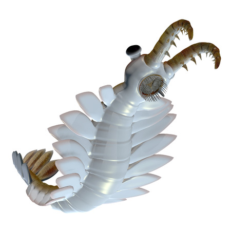 hunted: Cambrian Anomalocaris Underside - Anomalocaris is the largest known predator of Cambrian seas and hunted smaller arthropods of that time.