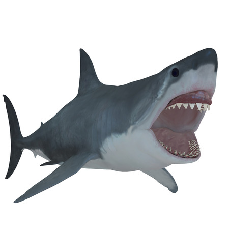 Great White Open Jaws - The Great White Shark is the largest predatory fish in the sea and can grow to 26 feet and live to 70 years. Stock Photo