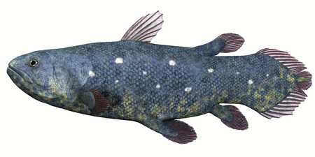 seas: Coelacanth Fish over White - Coelacanth fish was thought to be extinct but several living specimens have found to still exist in tropical seas.