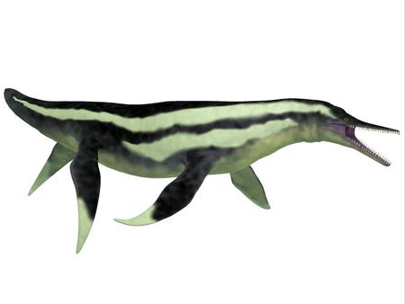 lived: Dolichorhynchops Plesiosaur on White - Dolichorhynchops was a marine reptile Plesiosaur that lived in Cretaceous seas as a predator.