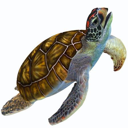 Verde Perfil Sea Turtle - La tortuga de mar verde es herbívora y vive en las cálidas aguas del océano subtropicales y tropicales de todo el mundo.