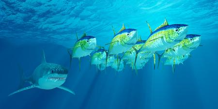atun: Escuela Atún Aleta Amarilla - Un banco de atunes aleta amarilla es seguido por un gran tiburón blanco que espera su oportunidad para atacar. Foto de archivo
