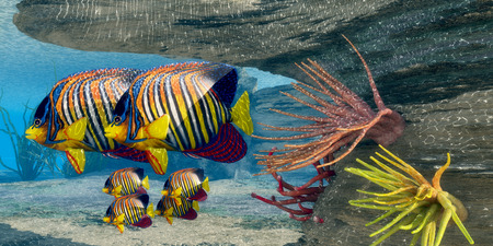 school of fish: Royal Angelfish Family - Adult Royal Angelfish parents guard their young underneath an protective overhang in shallow ocean waters.