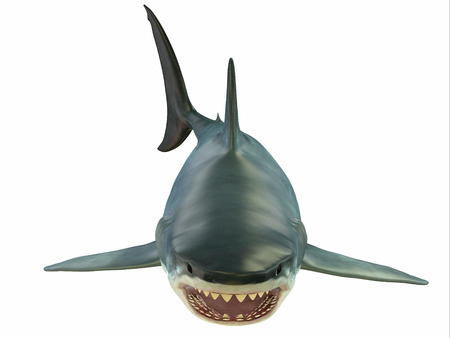 shark teeth: Mammoth Great White Shark - The Great White shark can grow over 8 meters or 26 feet and live to 70 years of age.