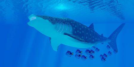 plancton: Ballena alimentación de tiburones - Los tiburones ballena son los más grandes de tiburones en el océano, pero se alimentan de plancton las criaturas más pequeñas. Foto de archivo