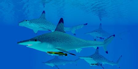 pez martillo: Tiburones martillo - Un grupo de tiburones martillo depredadores nadar juntos en busca de presas en las aguas claras del océano.