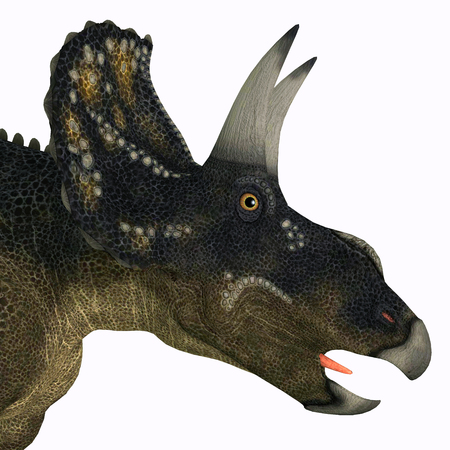 herbivorous: Nedoceratops Dinosaur Head - Diceratops is a herbivorous ceratopsian dinosaur that lived in the Cretaceous Period of Wyoming, North America.