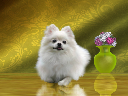 critters: The Pomeranian is a small toy breed of dog that was started in Central Europe Stock Photo