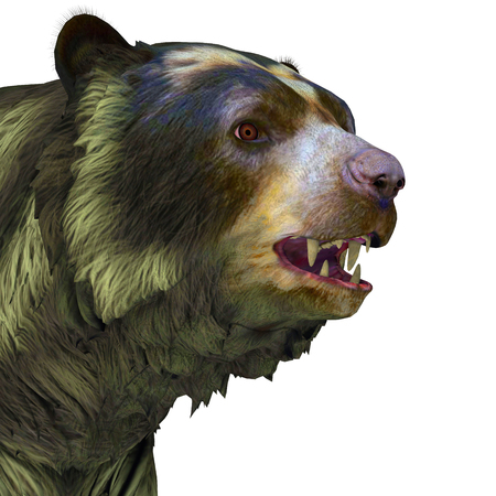 extinct: Arctodus Bear Head - Arctodus or Short-faced Bear is an extinct mammal that lived in North America in the Pleistocene Age.