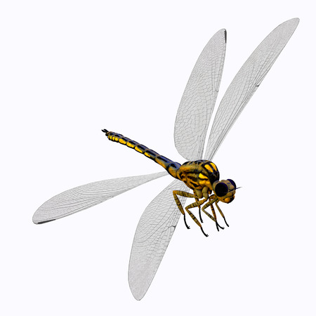 carboniferous: Meganeura Dragonfly Body - Meganeura was an insect dragonfly that lived in the Carboniferous Period of France and England.
