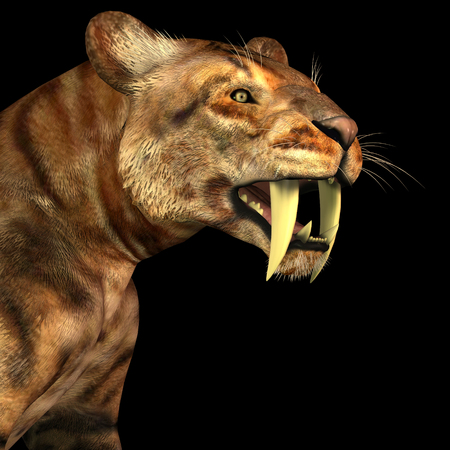 predator: Saber-tooth Cat on Black - The Saber-tooth Cat also called Smilodon was a large predator that lived in the Eocene to Pleistocene Eras in North and South America.