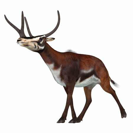 periods: Kyptoceras on White - Kyptoceras was a antelope type mammal that lived in North America during the Miocene to Pliocene Periods.