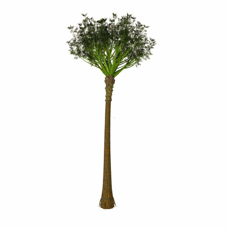 solitary: Wattieza Tree - Wattieza was a genus of prehistoric trees that existed in the mid-Devonian that belong to the cladoxylopsids, close relatives of the modern ferns and horsetails. Stock Photo