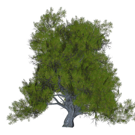 Juniper Tree - Junipers are coniferous plants in the genus Juniperus of the cypress family Cupressaceae.