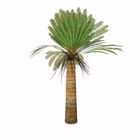 centimeters: Jurassic Cycad Plant - Cycads vary in size from having trunks only a few centimeters to several meters tall. They typically grow very slowly and live very long, with some specimens known to be as much as 1,000 years old.