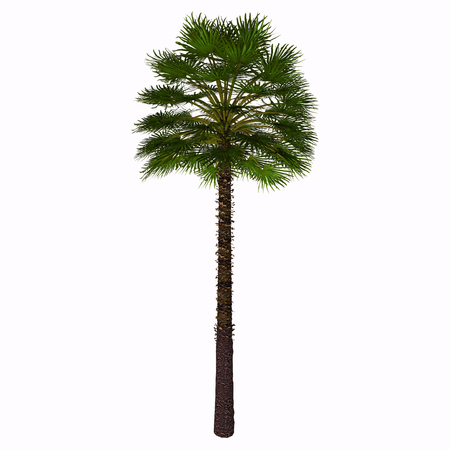 shrub: Mediterranean Fan Palm Tree - This palm is often found as a thick shrub, with an height of about 2-3 meters. Only occasionally it can grow higher up to 7 meters, and that�s when its trunk becomes really visible. Stock Photo