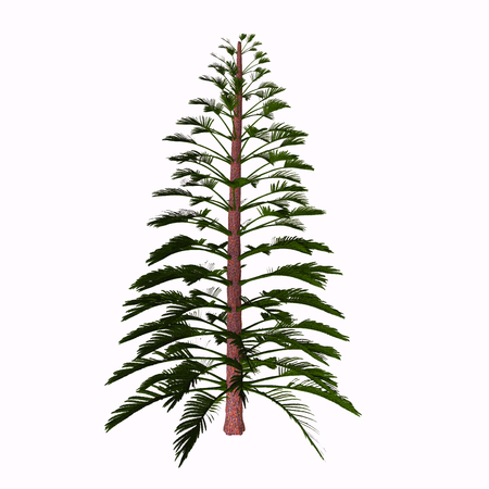 found it: Walchia Tree - Walchia is a fossil conifer, cypress-like genus of Upper Pennsylvanian (Carboniferous) and lower Permian (about 310-290 Mya). It is found in Europe; also North America.