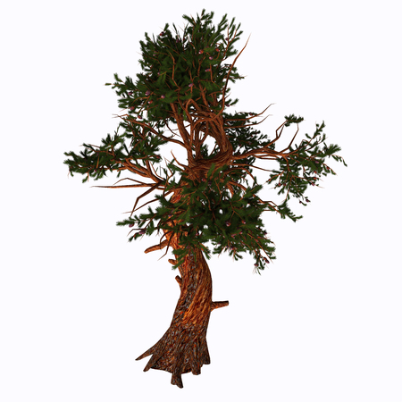 pine needles: Pinus Aristata Tree - Pinus aristata, the Rocky Mountain bristlecone pine, is a species of pine native to the United States. It appears in the Rocky Mountains in Colorado and northern New Mexico, with an isolated population in the San Francisco Peaks in Arizona