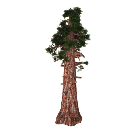 Giant Redwood Tree - Sequoiadendron giganteum (giant sequoia, giant redwood, Sierra redwood, Sierran redwood, or Wellingtonia) is the sole living species in the genus Sequoiadendron, and one of three species of coniferous trees known as redwoods.