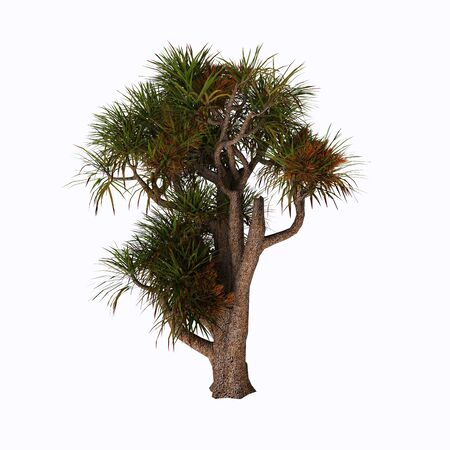 Cabbage Tree - Cordyline australis, commonly known as the cabbage tree, cabbage-palm or ti kouka, is a widely branched monocot tree endemic to New Zealand.