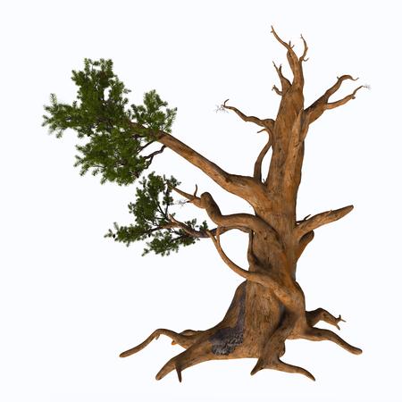 Bristlecone Pine Tree - Pinus aristata, de Rocky Mountain bristleconepijnboom, is een soort van den afkomstig uit de Verenigde Staten. Het verschijnt in de Rocky Mountains in Colorado en het noorden van New Mexico, met een geïsoleerde populatie in de San Francisco Peaks in