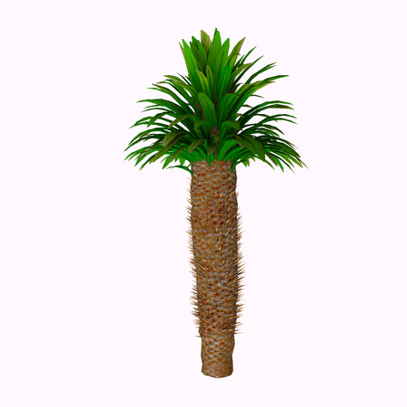 Pachypodium lamerei Tree - Pachypodium lamerei is a species of Pachypodium. It has large thorns and leaves mostly just at the top of the plant. It is a stem succulent and comes from the island Madagascar. Stock fotó