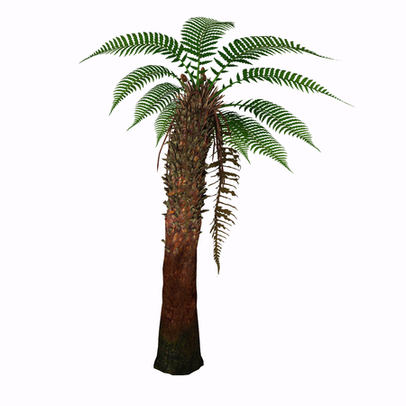 solitary: Dicksonia Tree - Dicksonia antarctica (Tasmanian Tree Fern) is a slow growing tree fern that in time will reach 15 feet tall with a possible 6-10 spread. Stock Photo