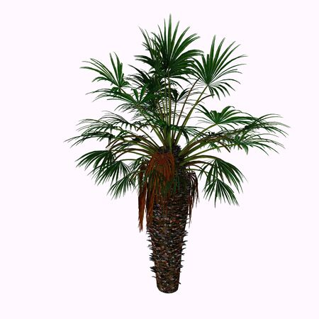 palmate: Dwarf Fan Palm Tree - Chamaerops humilis is a shrub-like clumping palm, with several stems growing from a single base. It has an underground rhizome which produces shoots with palmate, sclerophyllous leaves. It is native to Europe. Stock Photo