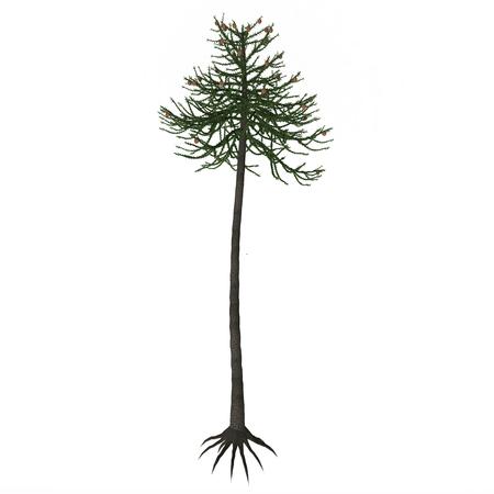 """Araucaria árbol - araucariáceas es una orden de coníferas temprano muy exitoso que apareció en la Tierra en el período Triásico y duró hasta el día de hoy con varias especies vivas (entre los cuales el más famoso es el llamado """"árbol de rompecabezas mono ')."""