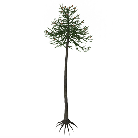 lasted: Araucaria Tree - Araucariaceae is a very successful early conifer order who appeared on Earth in the Triassic period and lasted until today with several living species (amongst which the most famous is the so-called Monkey puzzle tree).