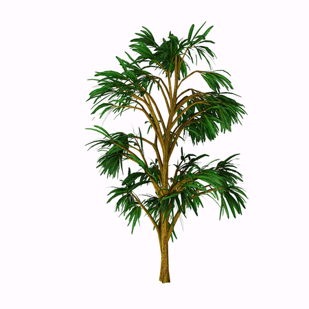 Cordaites borrasifolius Tree - Cordaites is an important genus of extinct gymnosperms which grew on wet ground in the similar to the Everglades in Florida during the Upper Carboniferous Period.